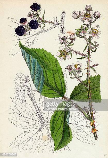 Rubus Kšhleri Kšhler's Bramble