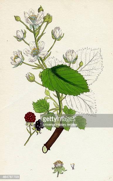 Rubus suberectus Suberect Bramble