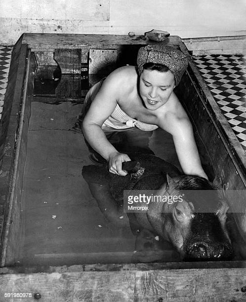 Ruby Bridges gives the baby hippo her weekly brush up in Hilda's caravan tank at Chipperfield's Circus Bolton September 1948 P009102