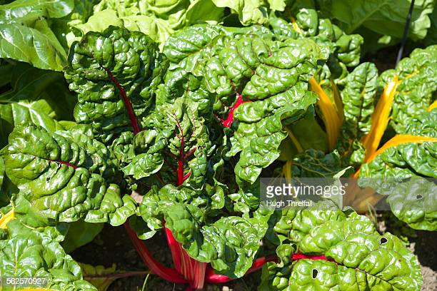 ruby chard and spinach - hugh threlfall stock pictures, royalty-free photos & images