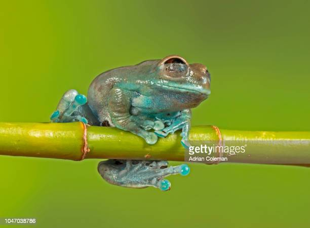 Ruby Eyed Tree Frog