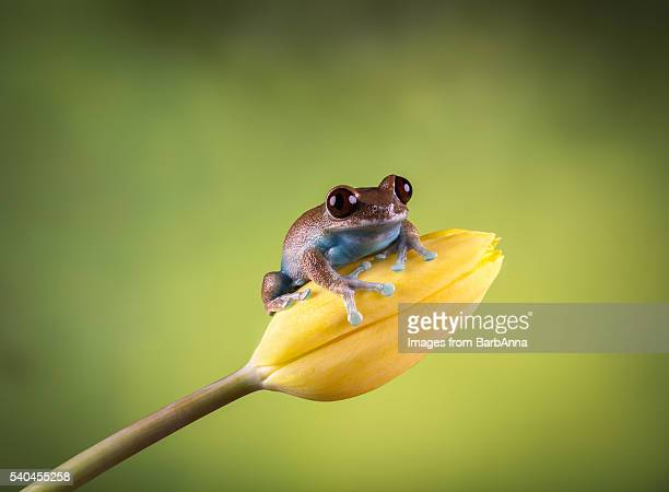 Ruby Eyed Tree Frog (Leptopelis uluguruensis)