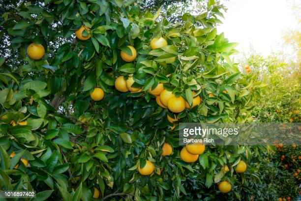 ruby red grapefruit tree with clusters of fruit ready for harvest - grapefruit red stock pictures, royalty-free photos & images