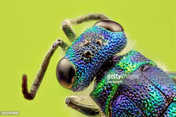 ruby tailed wasp - hedychridium roseumd close-up. - mosquito stock photos and pictures