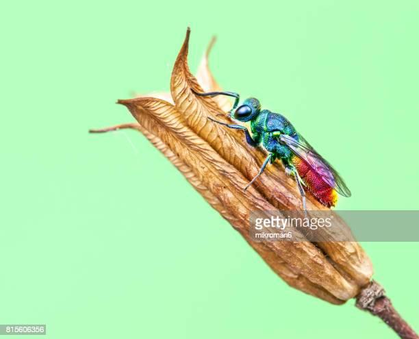 Ruby Tailed Wasp - Hedychridium roseumd close-up.