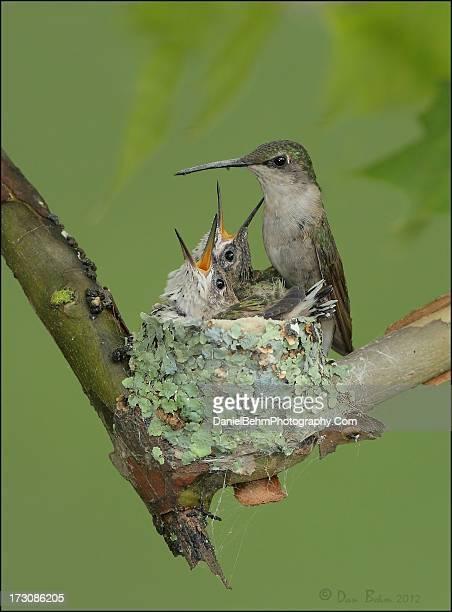 Ruby throat hummingbird nest