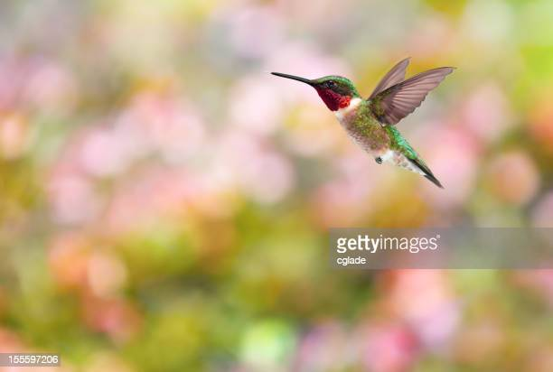 Ruby-Throated Kolibri bunten Hintergrund