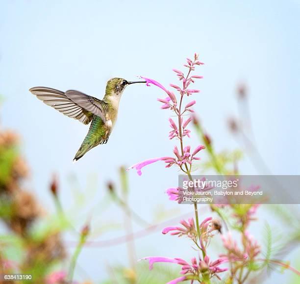Ruby Throated Hummingbird Feeding on a Pink Flower