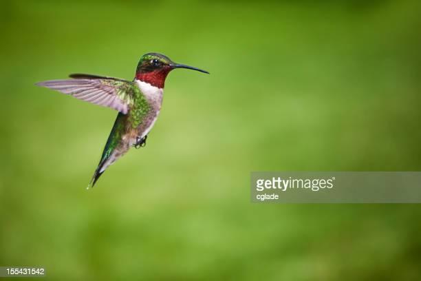 Ruby Throated Hummingbird Green Background