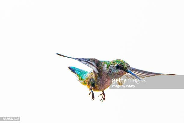 ruby throated hummingbird in flight - colibri photos et images de collection