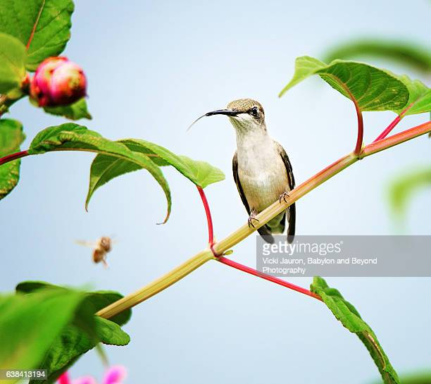 Ruby Throated Hummingbird perched on Vine