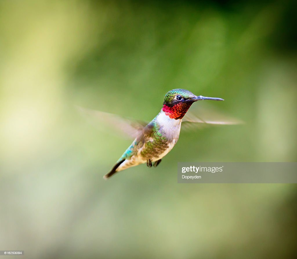 Ruby Throated Hummingbird. : Stock Photo