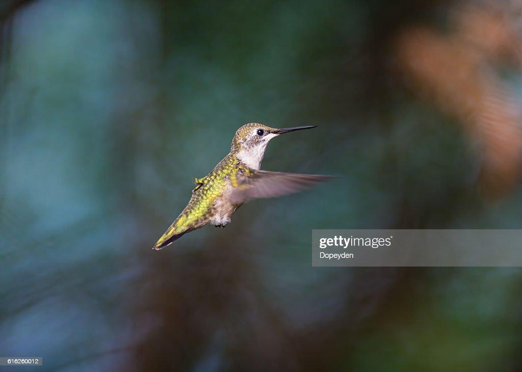 Rubí colibrí garganta. : Foto de stock