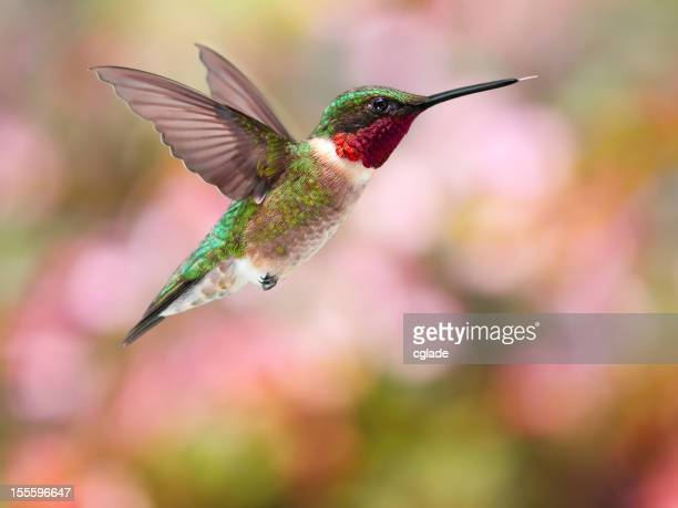 Ruby Throated Hummingbird Pink Geen Red