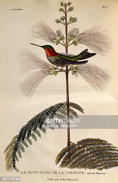 Rubythroated Hummingbird engraving from Les trochilidees ou les colibris et les oiseauxmouches by RenePrimevere Lesson France 19th century...