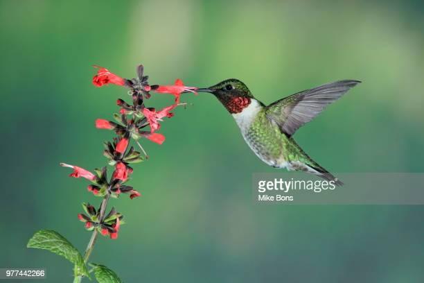 Ruby-throated hummingbird (Archilochus colubris) feeding from salvia flower