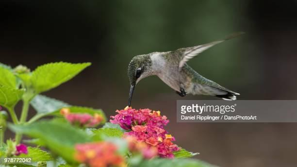 Ruby-throated hummingbird (Archilochus colubris) feeding on lantana camara (Lantana camara L.)