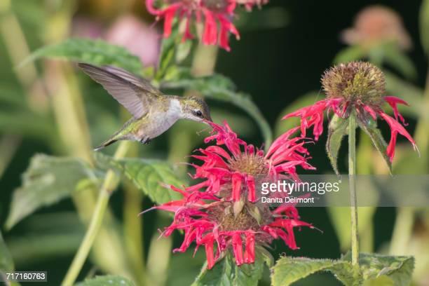 Ruby-throated Hummingbird (Archilochus colubris) feeding on Red Bee Balm (Monarda didyma), Marion County, Illinois, USA