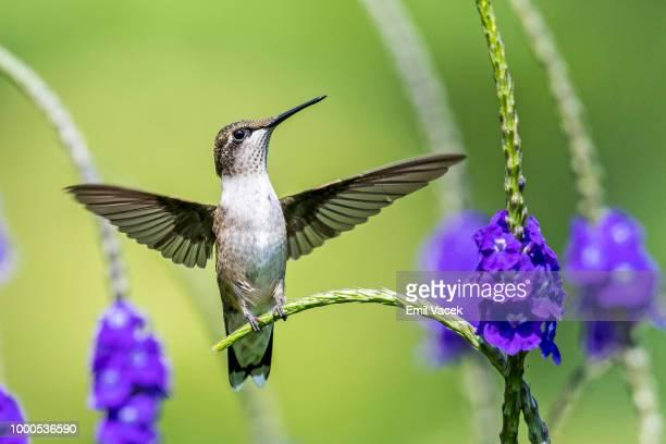 Ruby-Throated Hummingbird  - I am a angel