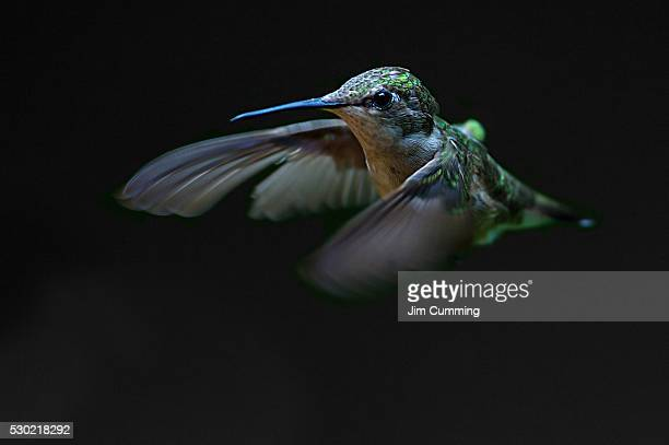 ruby-throated hummingbird - colibri photos et images de collection