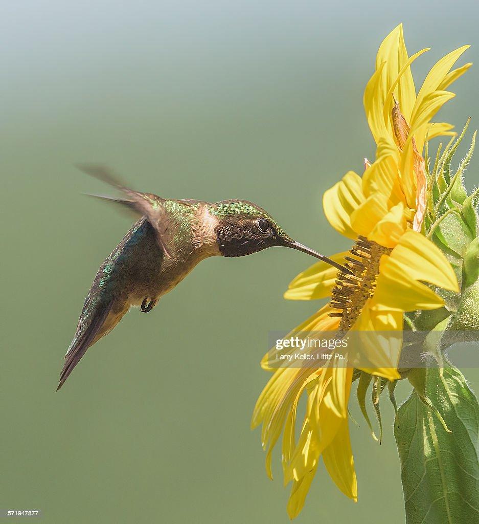 Ruby-throated hummingbird : Stock-Foto