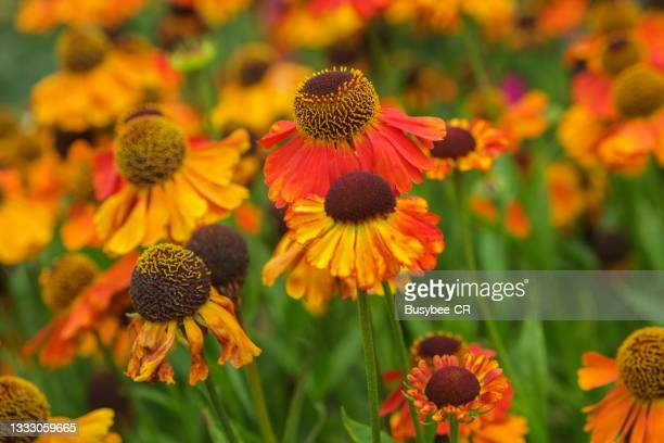 rudbeckia flower / black-eyed susan - two tone color stock pictures, royalty-free photos & images