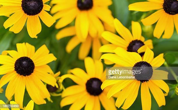 Rudbeckia Hirta Flowers