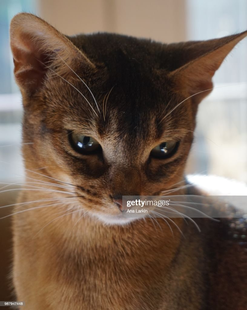 Abyssinian Cat Price Philippines