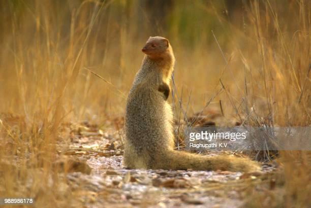 imgp2165._ ruddy mongoose - - mangusta foto e immagini stock