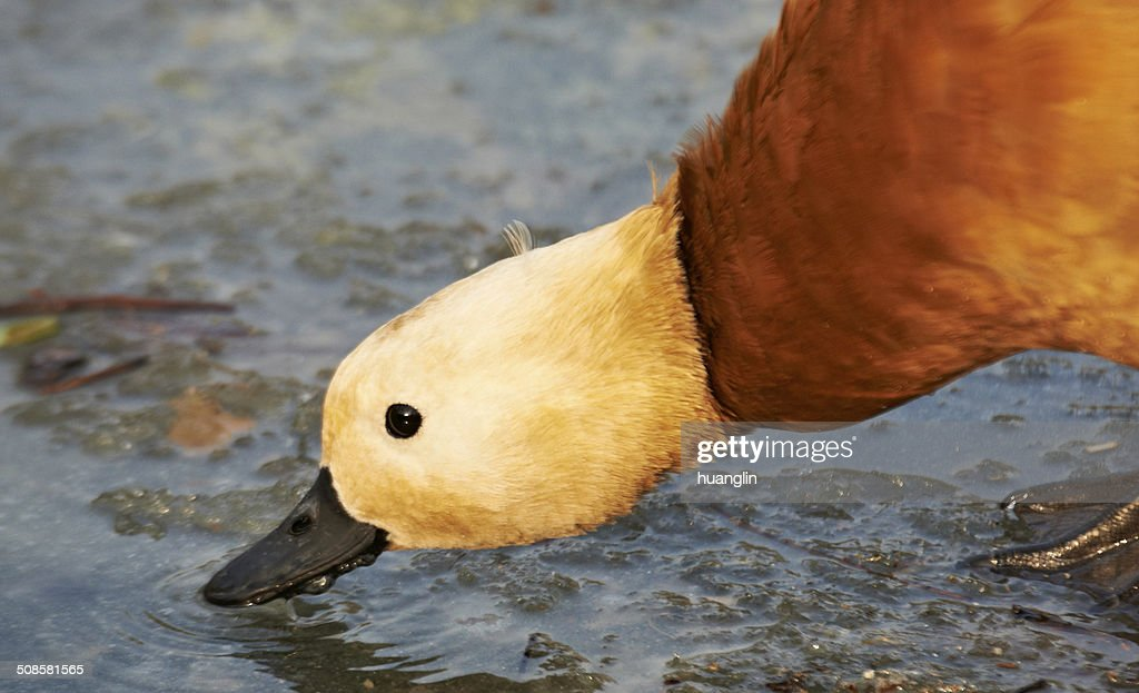 Ruddy Shelduck drinking : Stock Photo
