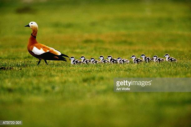 ruddy shelduck (tadorna ferruginea) with ducklings (enhancement) - duckling stock pictures, royalty-free photos & images