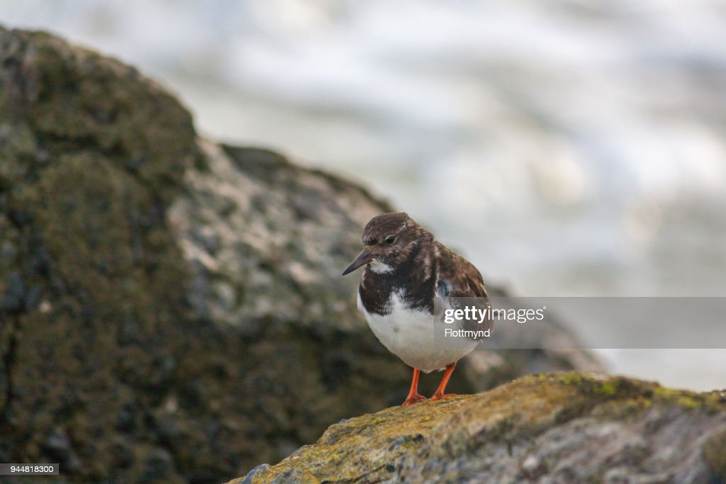 Ruddy Turnstone bird on some rocks near the waters of the North sea : Stock Photo