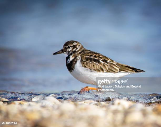 ruddy turnstone (arenaria interpres) in water at caumsett state park - huntington suffolk county new york state stock pictures, royalty-free photos & images