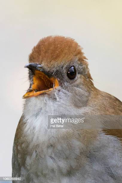 ruddy-capped nightingale-thrush calling close-up - nightingale bird stock pictures, royalty-free photos & images