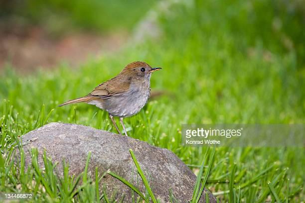 Ruddy-capped Nightingale-thrush (Catharus frantzii), Cerro de la muerte, Costa Rica, Central America