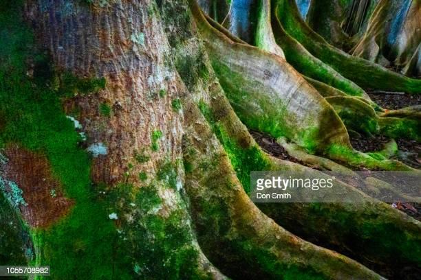 rudraksha trees, kauai - don smith stock pictures, royalty-free photos & images