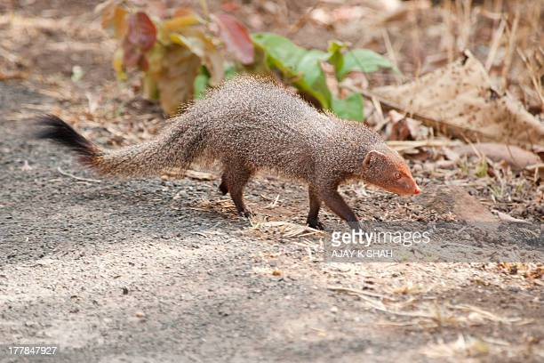 rudy mangoosh at tadoba forest - mongoose stock photos and pictures