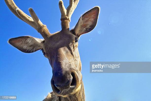 rudy the reindeer - reindeer stock pictures, royalty-free photos & images