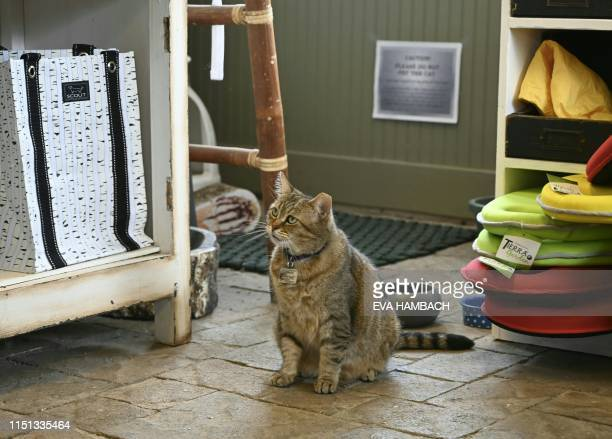 Rue an eartipped Blue Collar cat looks on June 20 2019 at a garden center in Alexandria Virginia Rue is an employee of Greenstreet Gardens where she...