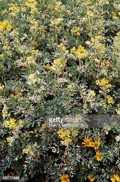 Rue, Common rue or Herb-of-grace , Rutaceae.