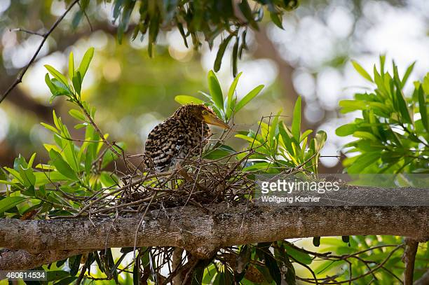 Rufescent tiger heron chick in nest in a tree along a tributary of the Cuiaba River near Porto Jofre in the northern Pantanal, Mato Grosso province...