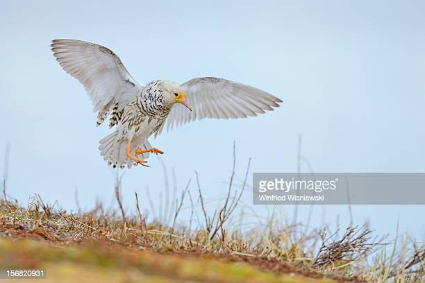 ruff , courtship display - waders stock pictures, royalty-free photos & images