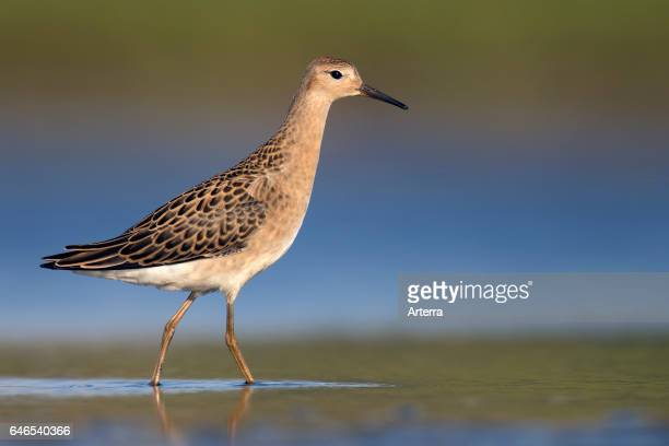 Ruff juvenile foraging in shallow water of pond in summer