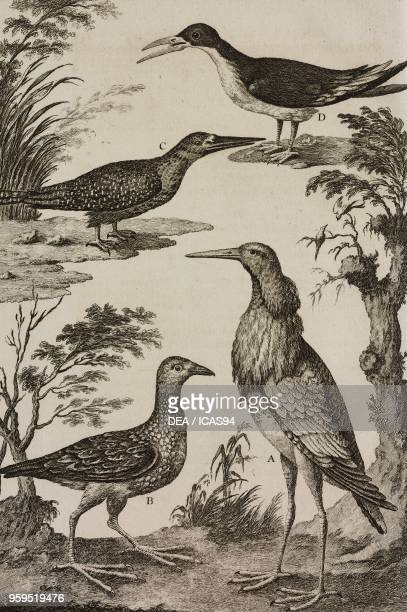 Ruff Water Rail Common Kingfisher Larus or Gavia Alba copperplate engraving from L'histoire naturelle eclaircie dans une de ses parties principales...