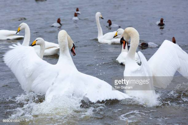 Ruffled feathers male Mute Swans Cygnus olor arguing and flapping wings to fight for territory in Welney Norfolk England