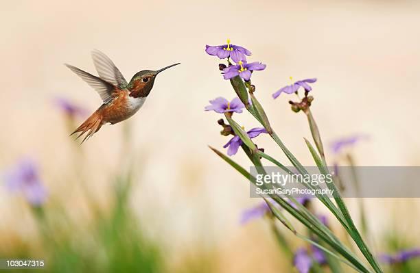 Rufous Hummingbird and Blue-Eyed Grass Flowers