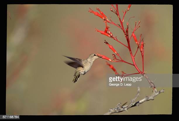 Rufous Hummingbird Feed on Nectar