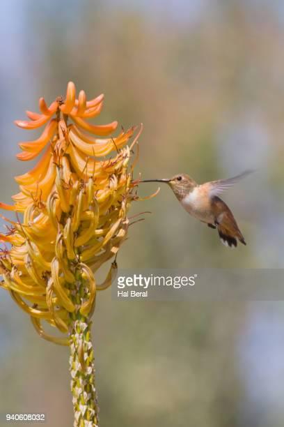 Rufous Hummingbird feeding on flower