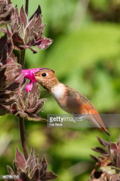 Rufous Hummingbird feeding on Hummingbird Sage