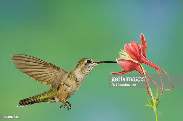 rufous hummingbird (selasphorus rufus), immature in flight feeding on columbine, paradise, chiricahua mountains, arizona, usa - columbine flower stock pictures, royalty-free photos & images